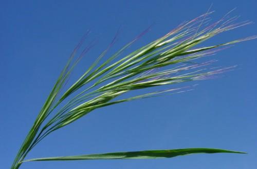 Avadex Factor, la nueva herramienta de control de malas hierbas gramíneas en cereales de invierno