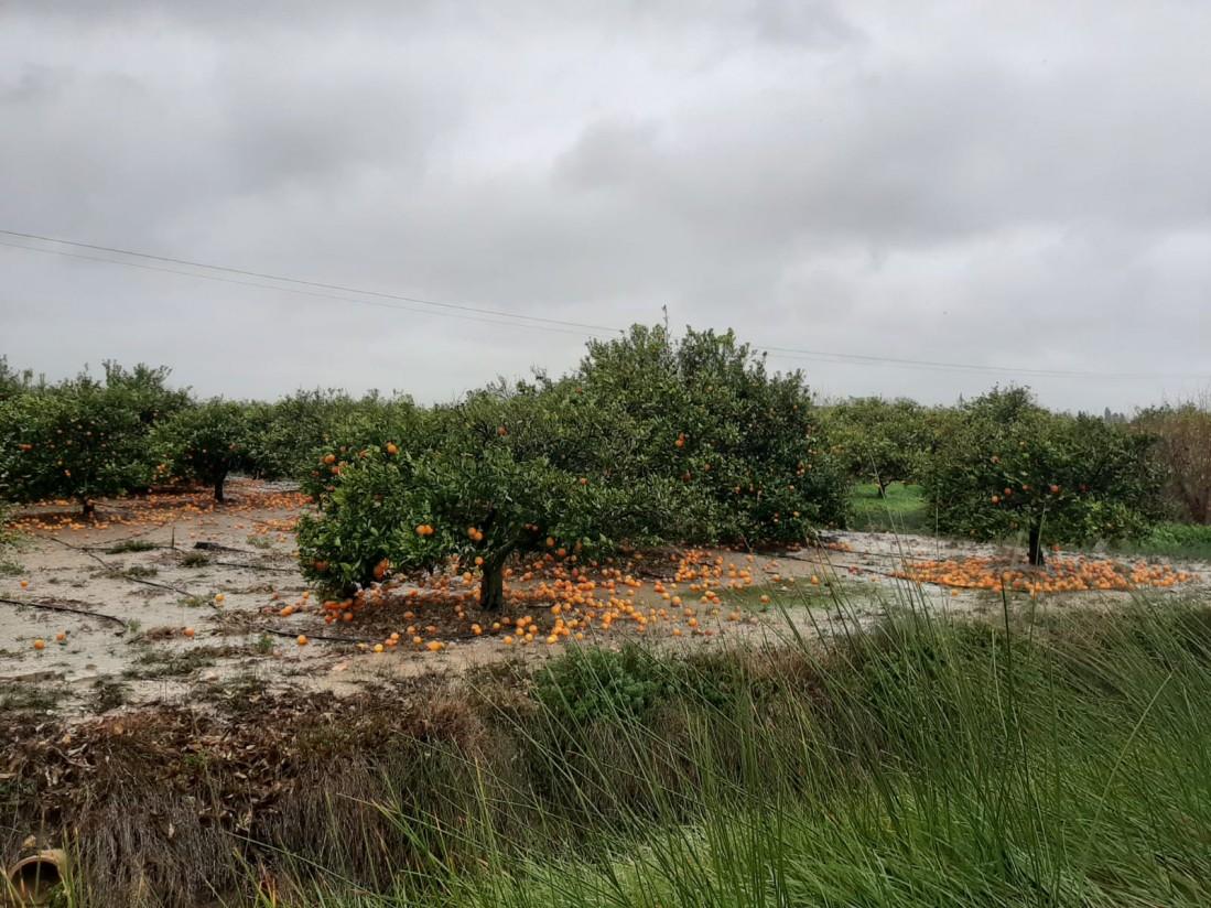 Las OPAs estiman daños graves en los cítricos de la Comunidad Valenciana por el  fuerte viento