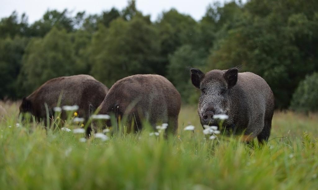Medidas para actuar contra la transmisión por especies cinegéticas de la tuberculosis al ganado
