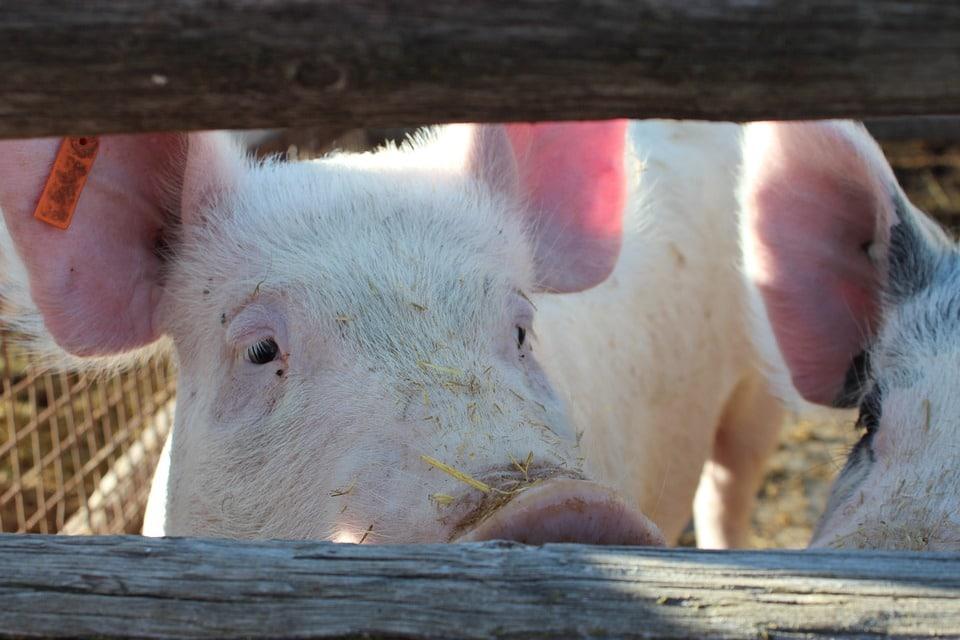 Inteporc reforzará el compromiso con la sostenibilidad del sector porcino