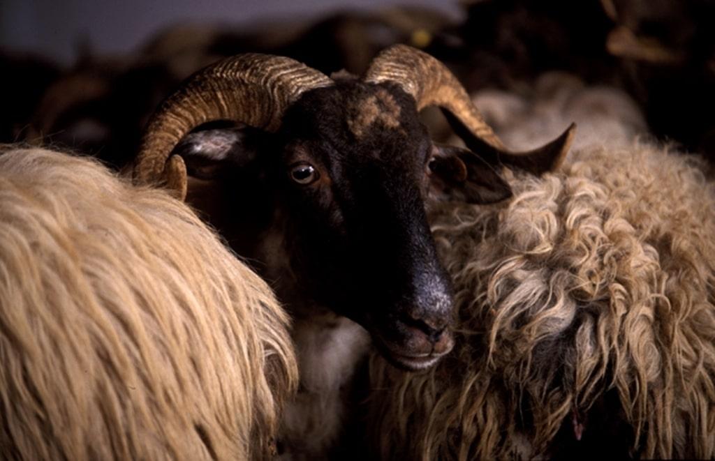 El número  de ganaderos de ovino y caprino de leche  baja en 2019 pese a remontar los precios en origen