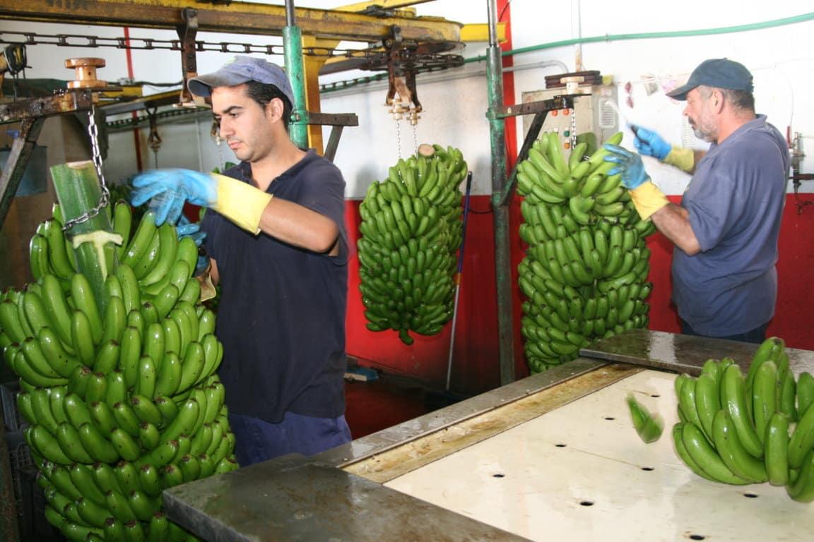 El diferencial de precio en verde y de venta al público bloquea el mercado del Plátano de Canarias
