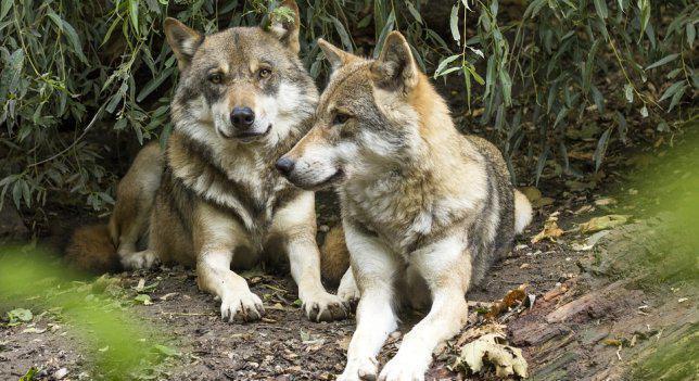 El Supremo confirma que la Comunidad de Madrid es responsable de los daños provocados por el lobo