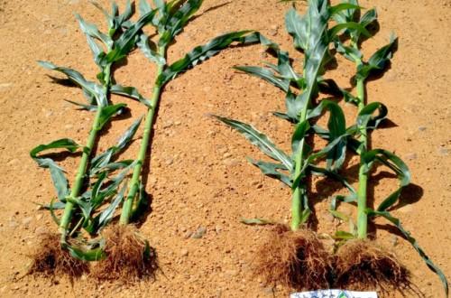 Starcover, la tecnología de LG capaz de aumentar el vigor y la producción del maíz