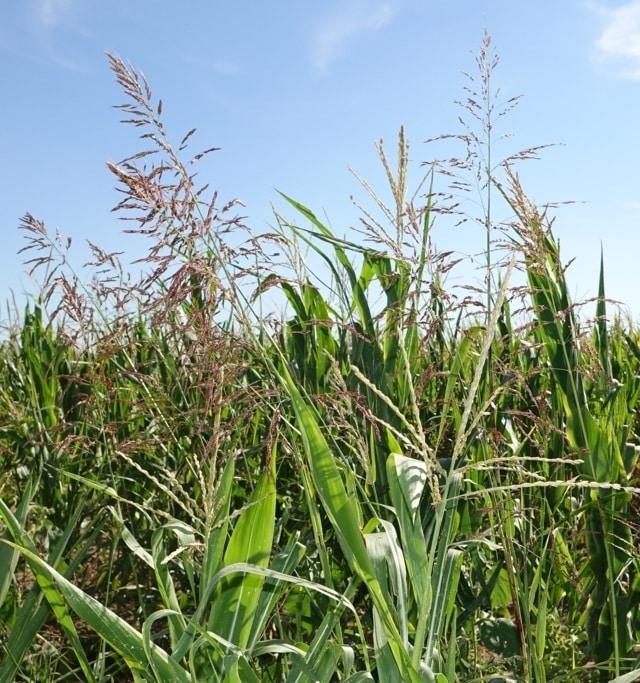 Gestión integrada de gramíneas resistentes en maíz