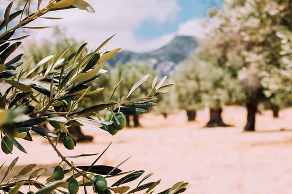 Las salidas de aceite de oliva en febrero podrían haber llegado a 120.000 t, cerca del 20% importado