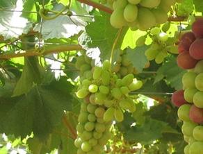 Agroseguro abona 18,5 M€ a asegurados de uva de mesa por los siniestros de 2019