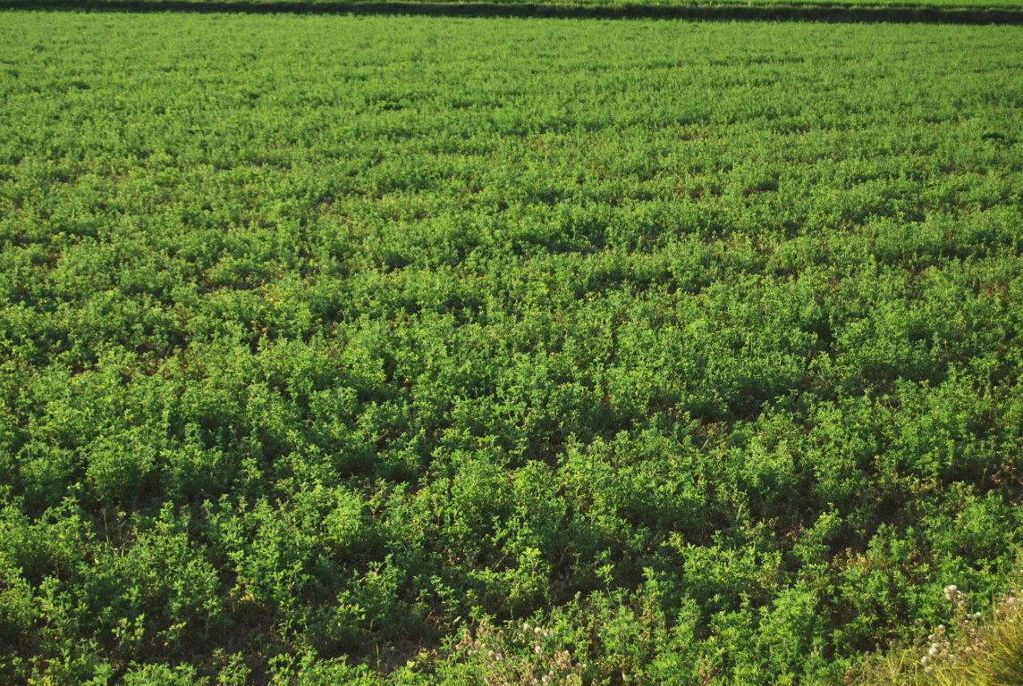 El sector de la alfalfa deshidratada eleva a más de 1,4Mt su producción en la campaña 2019/2020