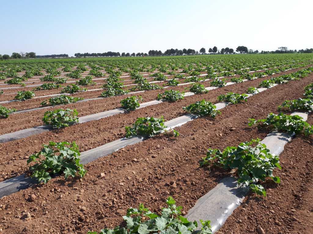 La Interprofesional de melón y sandía de Castilla-La Mancha pide una planificación de siembra adecuada