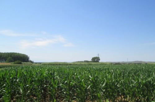 Nuevas variedades comerciales de maíz para grano de los ciclos 400 y 500