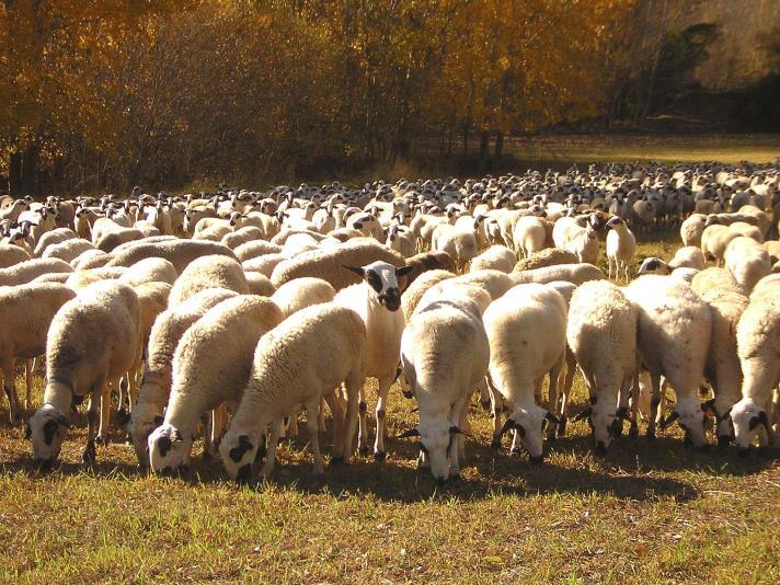 El MAPA destinará 10 M€ de ayudas de Estado a los ganaderos de ovino y caprino