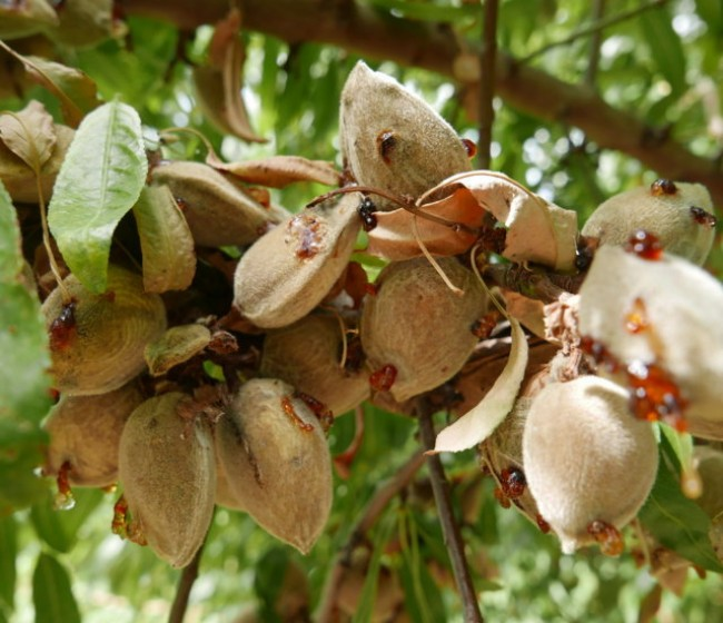 La mancha bacteriana, una enfermedad de gran expansión en el cultivo del almendro en España