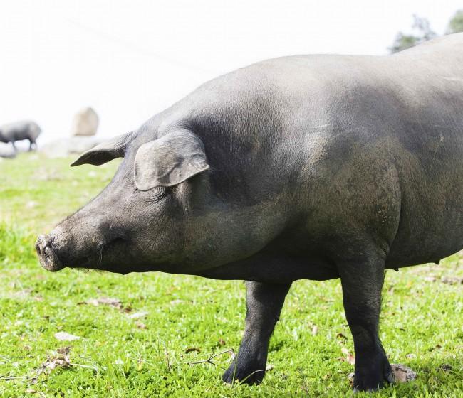 El Gobierno tramita ampliar los plazos que regulan las ayudas al porcino ibérico