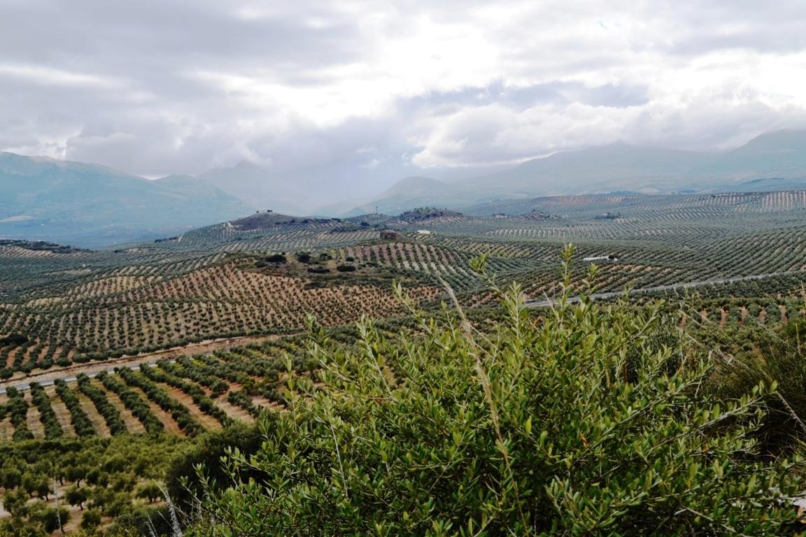 Aceite de Jaén, primera IGP de aceite de oliva virgen extra reconocida en España