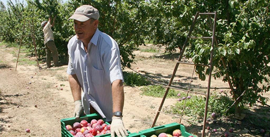 España liderará de nuevo la producción europea de fruta de hueso en la campaña 2020/21