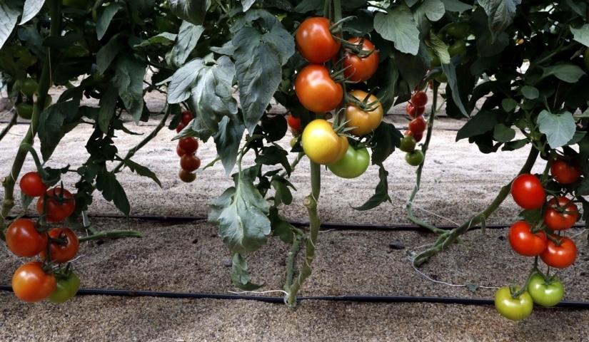Soluciones nutritivas 50-50 (A+B) para tomate en Almería con la precisión de Nutri Liquid Perfect Fit