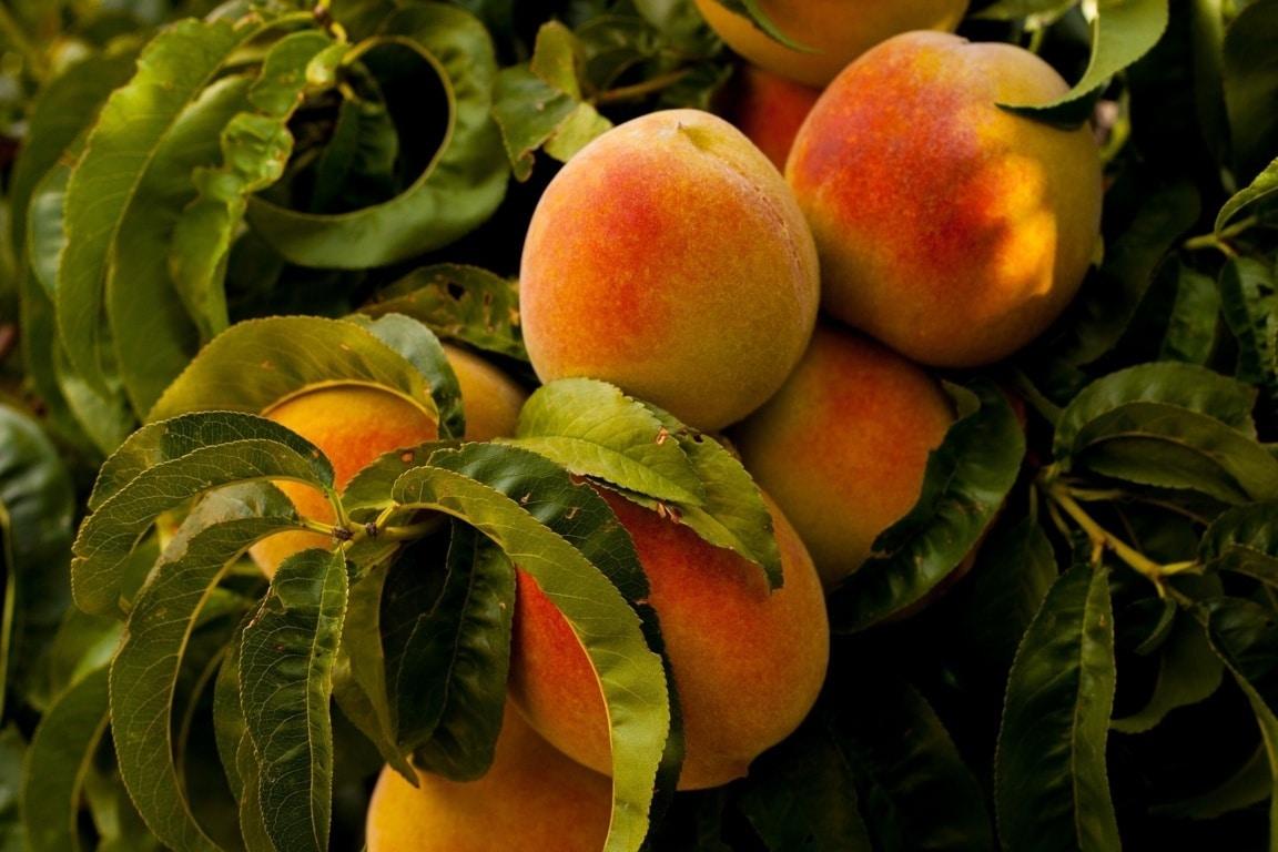 Cataluña prevé un descenso del 18,6% de la cosecha de melocotón y nectarina este año