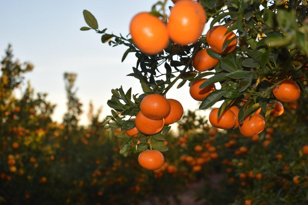 Constituida la asociación de productores de la variedad de mandarina Spring Sunshine