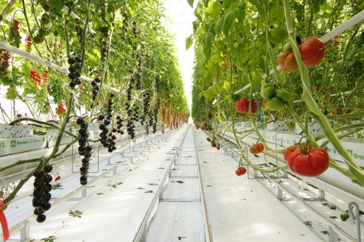 Syngenta inaugura unas nuevas instalaciones para acelerar su innovación en el cultivo del tomate