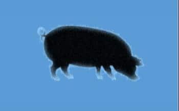 Nueva guía para la eutanasia de cerdos en granjas