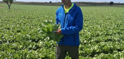 Agrícola El Marquino elige YaraVita Biotrac para combatir el estrés en lechuga Iceberg