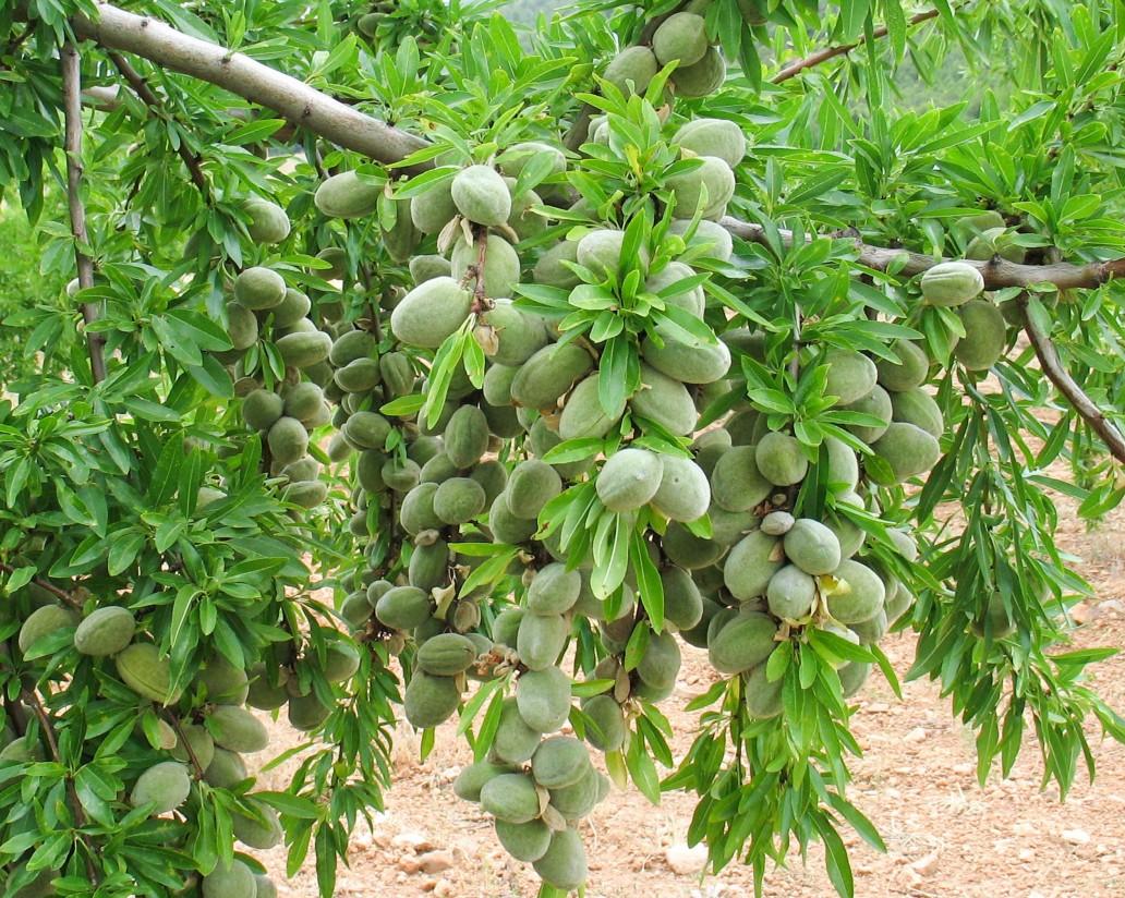 El sector cooperativo de los frutos secos propone medidas para asegurar su viabilidad