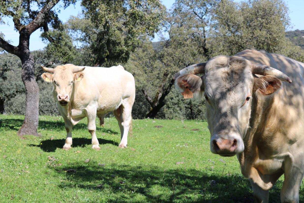 Eficiencia alimentaria en el ganado vacuno de carne