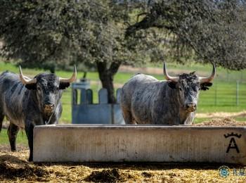 Manejo nutricional del ganado de lidia