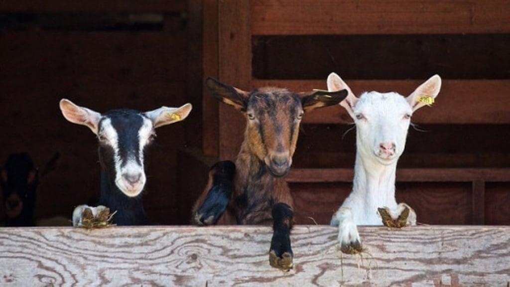 Covid-19: el MAPA reparte entre CC.AA. los 10 M€ de ayudas de Estado para reproductoras de ovino y caprino