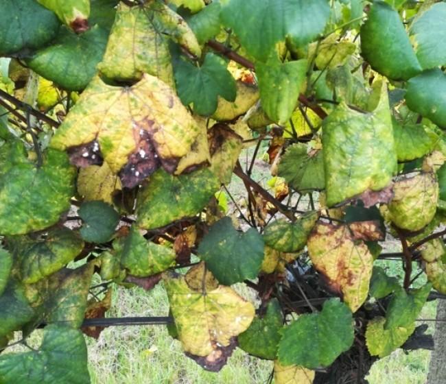 Cochinillas algodonosas y mosquito verde en viñedo, ¿plagas menores?