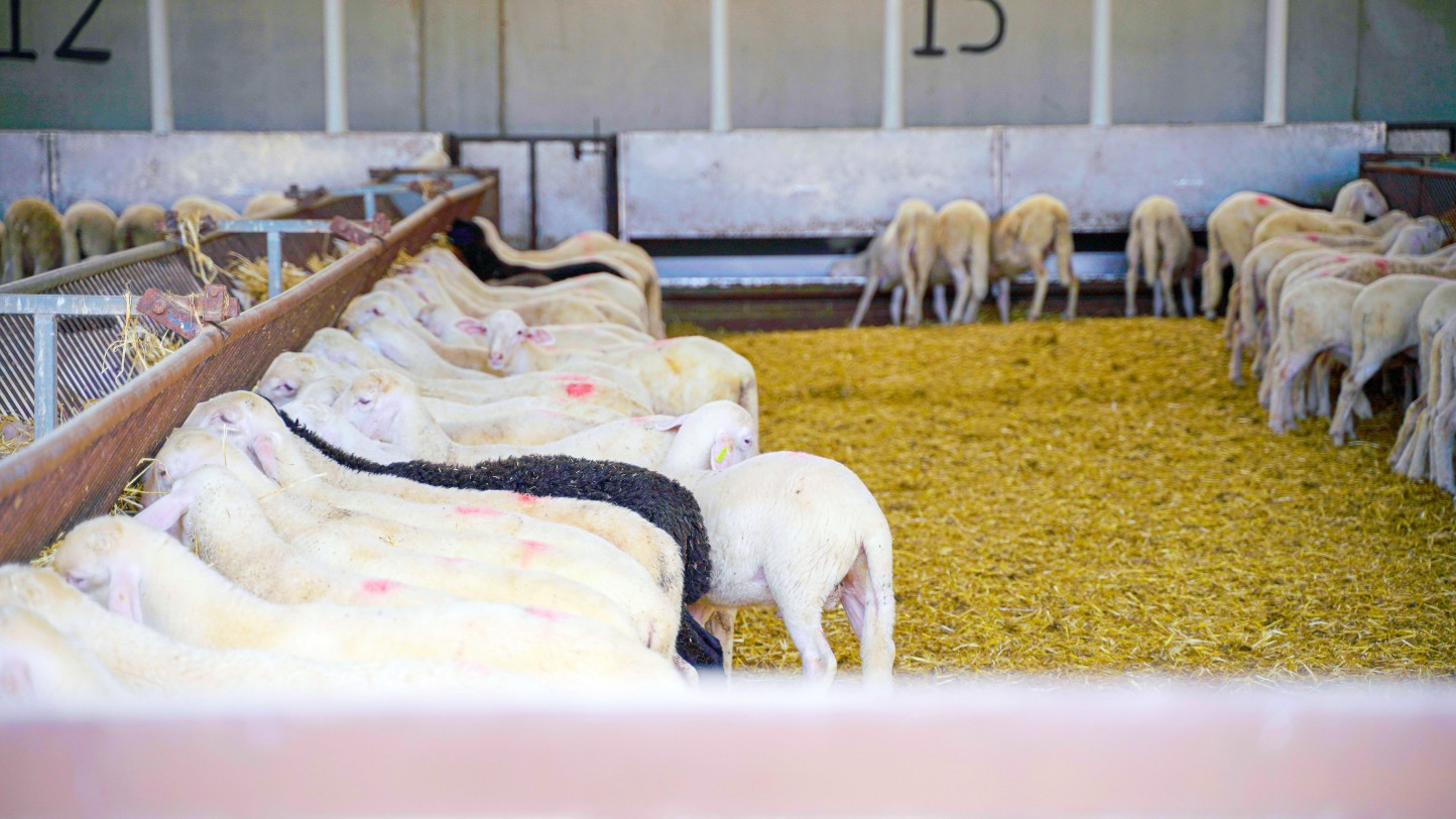 Interovic y Amazon colaboran para ofrecer carne de cordero y apoyar al sector