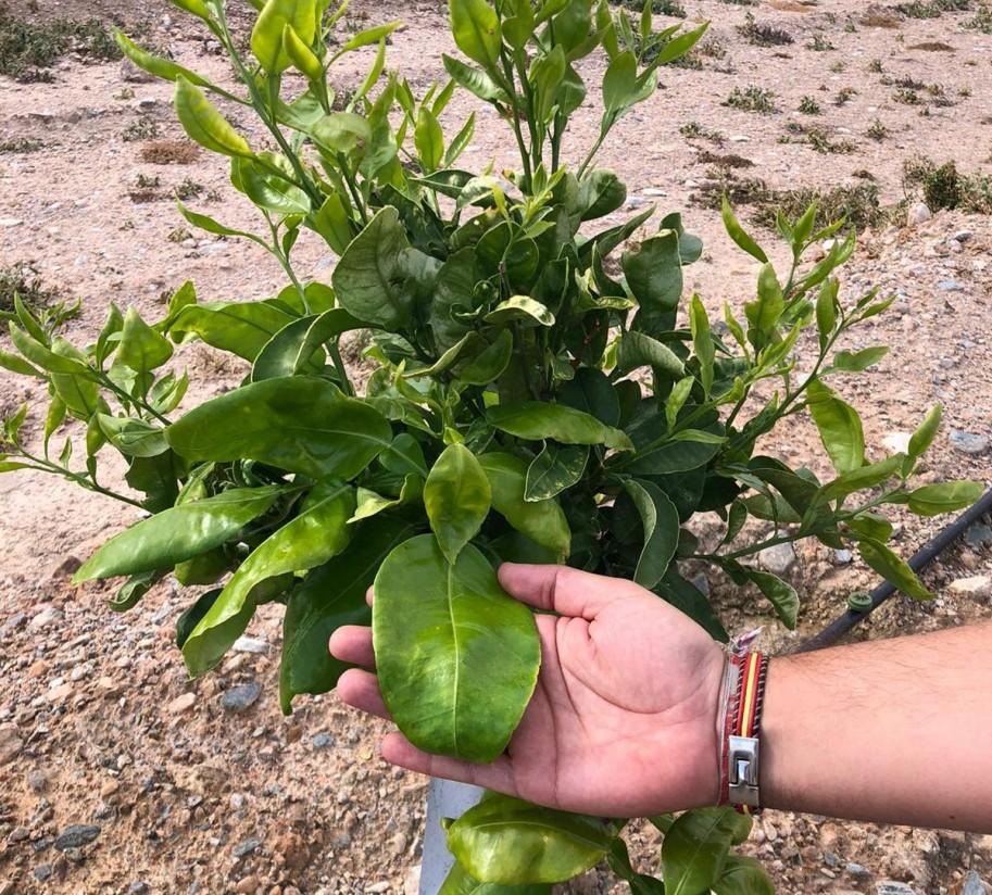 Nutrifluid Impulse y Profertil ayudan a recuperar una finca de pomelo afectada por el pedrisco