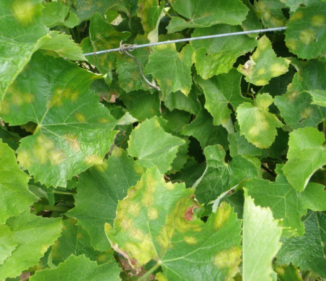 Solicitan que los daños por el mildiu sean asegurables en todas las zonas vitivinícolas