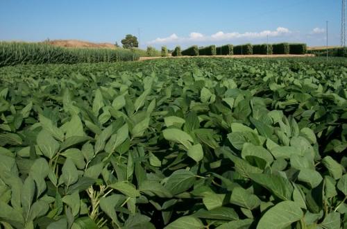 Producción de soja como alternativa a los cultivos extensivos tradicionales de regadío
