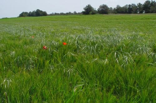 Importancia del estado de desarrollo de las malas hierbas en la eficacia de un herbicida