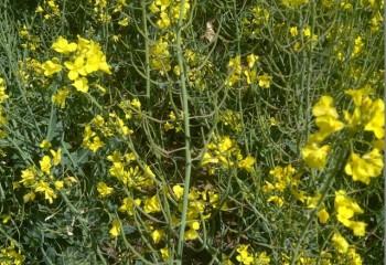 El cultivo de la colza  en el marco de la gestión integrada de malas hierbas
