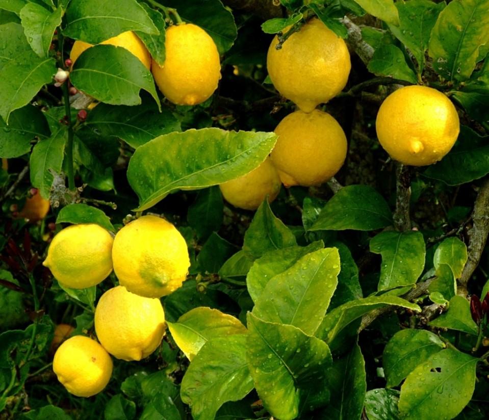 La producción de limón volverá a niveles normales, según Ailimpo