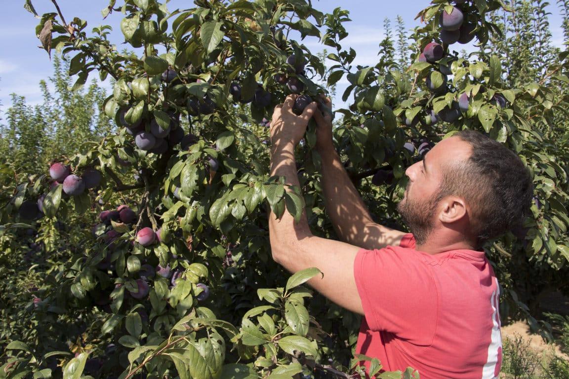 Fruta de hueso: denuncian que la gran distribución europea fuerza bajadas de precios