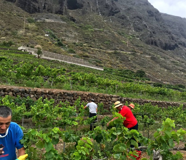 El BOE publica los contratos-tipo homologados de 2020/21 en los sectores vitivinícola, limón, pomelo y tabaco
