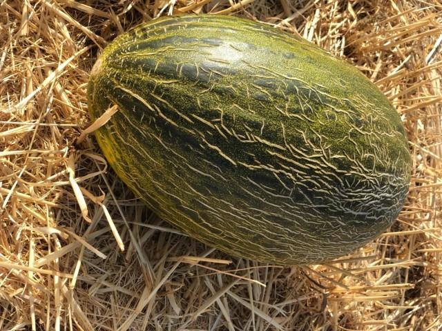 Basf amplía su gama de calibres en melón piel de sapo
