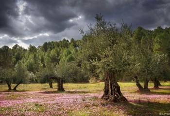 Réquiem por el olivar tradicional. Por José Manuel de las Heras