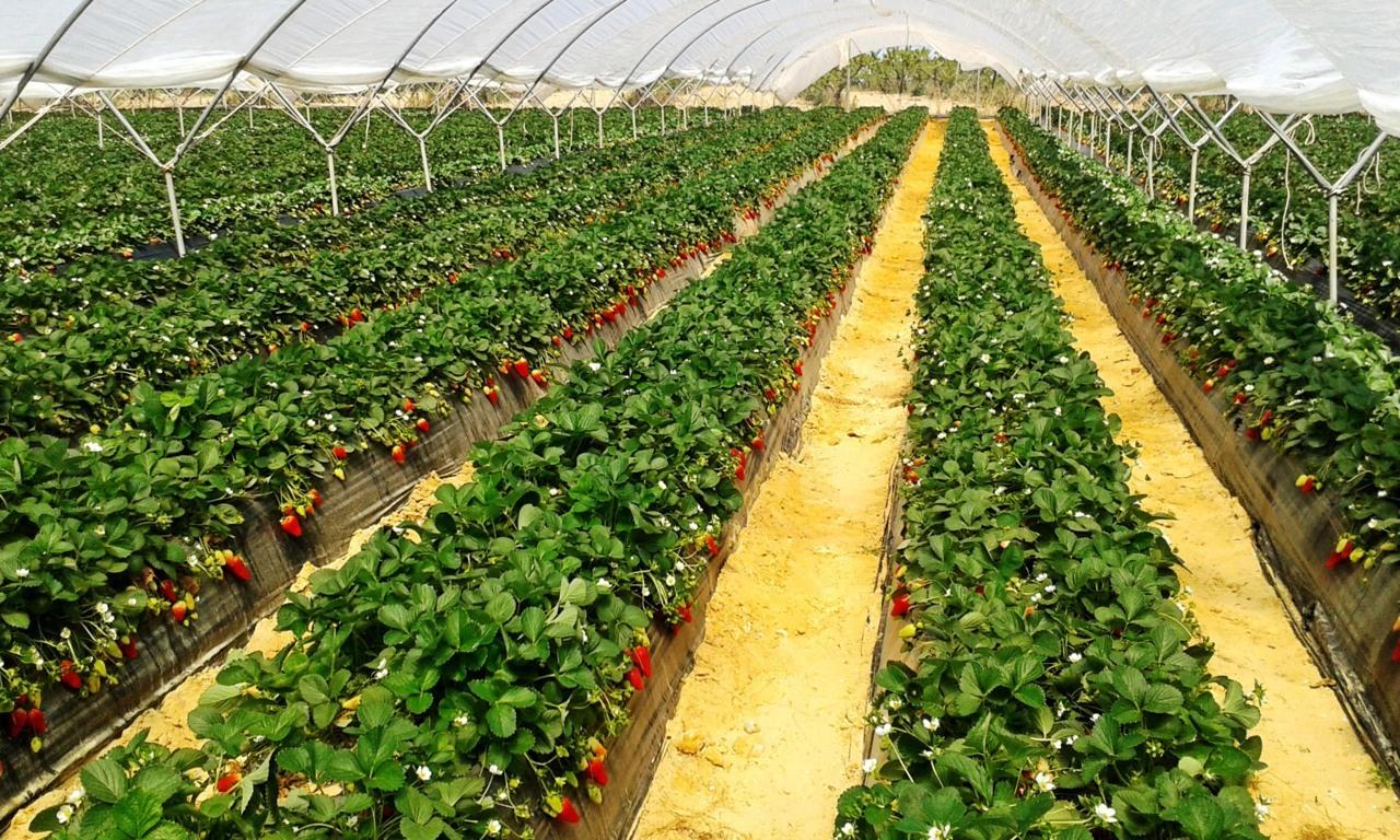 El sector de la fresa onubense cierra campaña con una caída del 20%