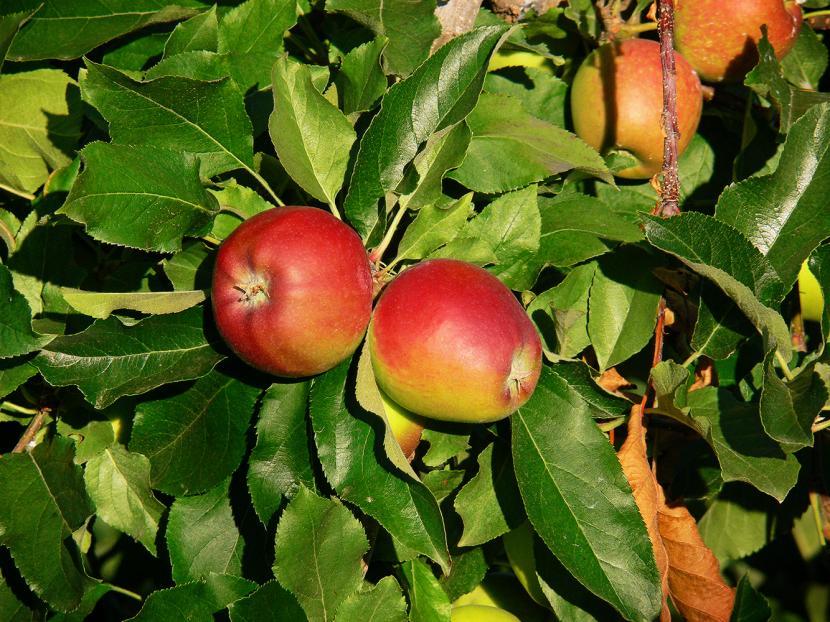 Cooperativas prevé una menor cosecha española de manzanas y peras en la nueva campaña 2020/21