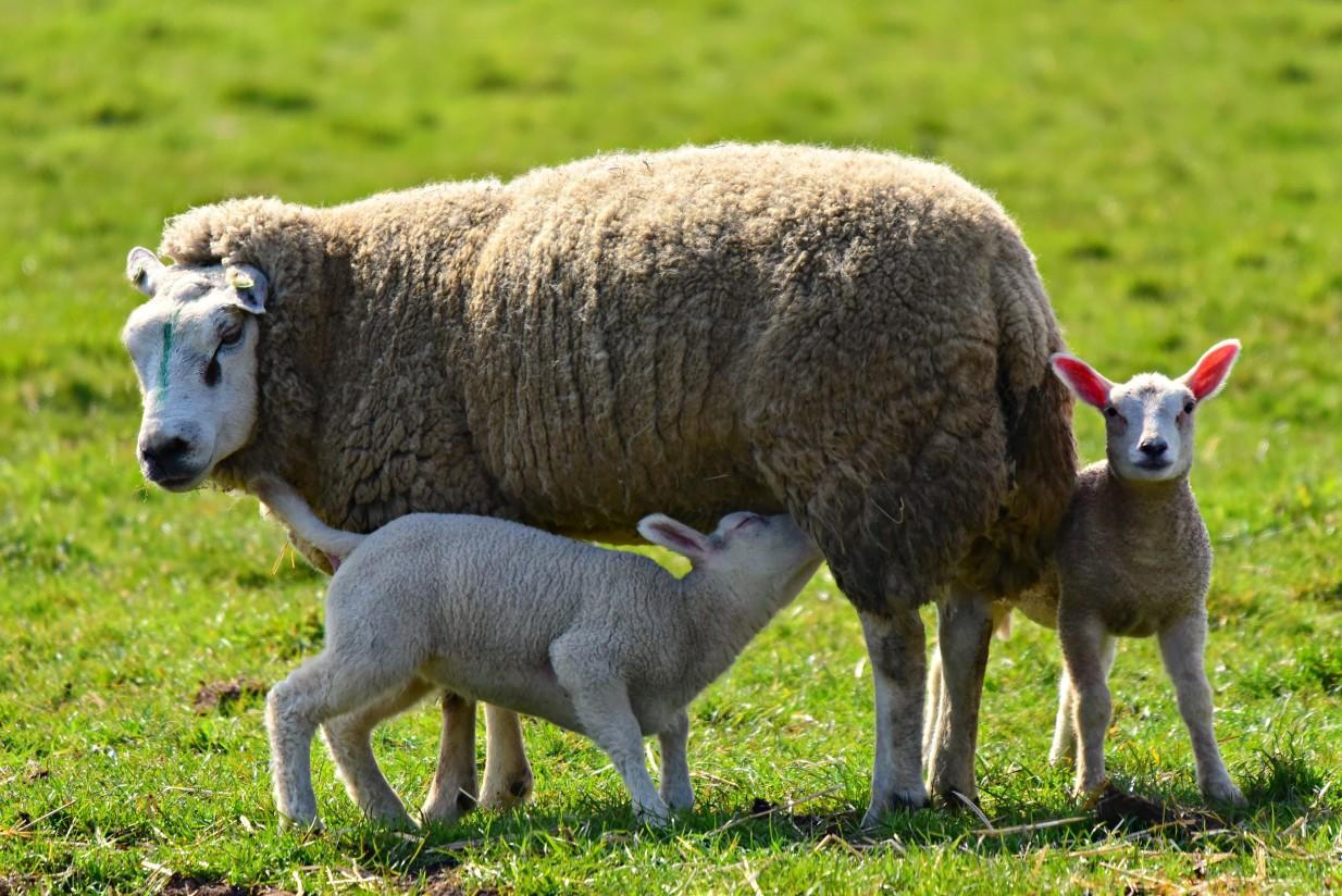 Ventajas e inconvenientes de la lactancia artificial de corderos