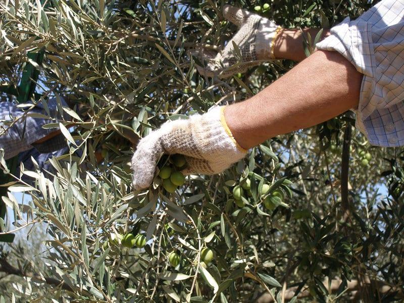 La producción nacional de aceituna verdeable se estima en 547.000 t por ahora en 2020/21