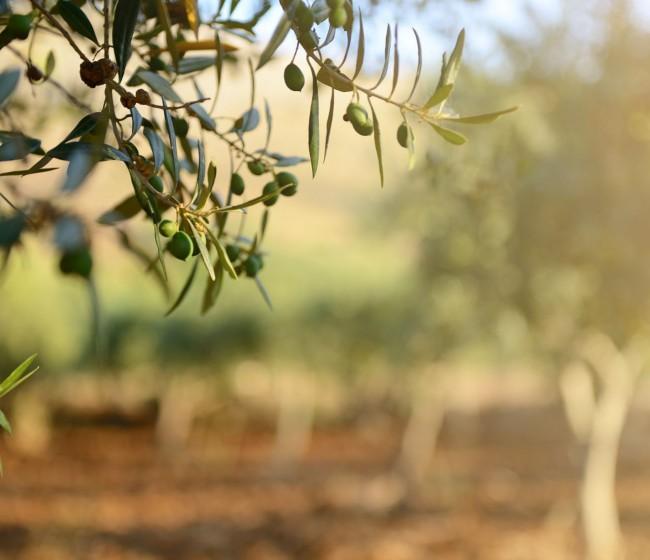 AEMO constata la gran variabilidad de costes de un kilo de aceite de oliva según el sistema de cultivo