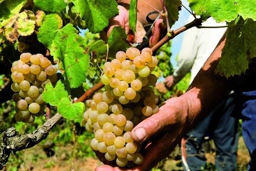 Los viticultores reclaman que las bodegas no fijen precios de la uva por debajo de los costes de producción