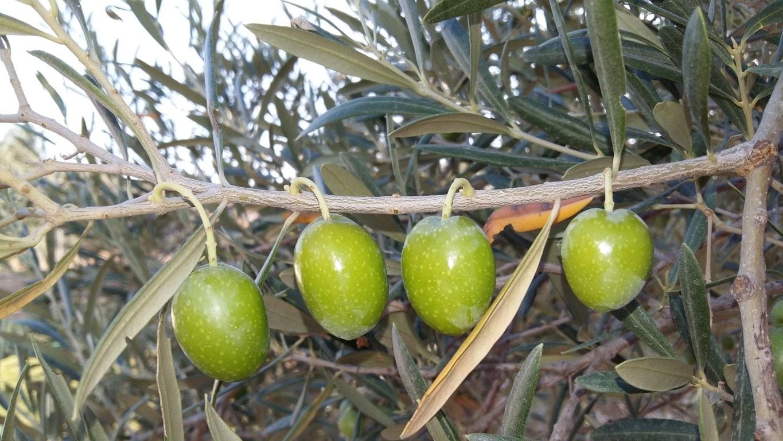 La producción española de aceituna de mesa no superará las 465.000 toneladas, según ASAJA-Sevilla