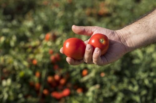 Basf presenta una nueva variedad de tomate de industria para la próxima campaña