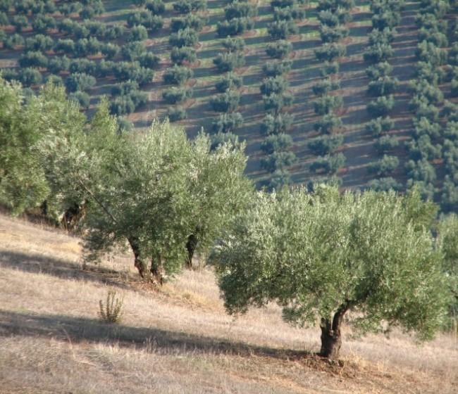 La campaña oleícola 2019/20 acabará con un stock inferior a las 500.000 t de aceite de oliva